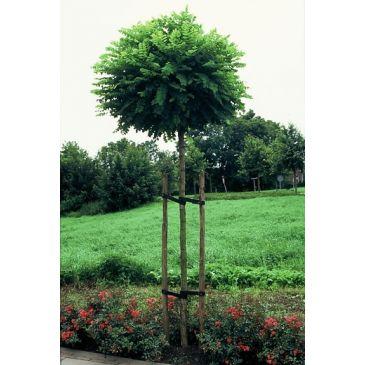 Bolacacia - Robinia pseudoacacia 'Umbraculifera