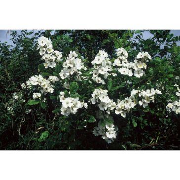 Veelbloemige roos - rosa multiflora