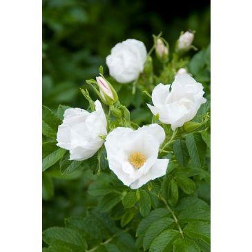 Bottelroos - Rosa rugosa Alba