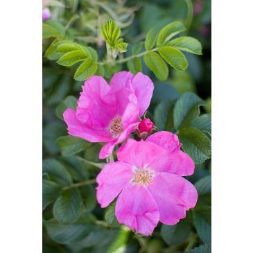 Bottelroos - Rosa rugosa Rubra
