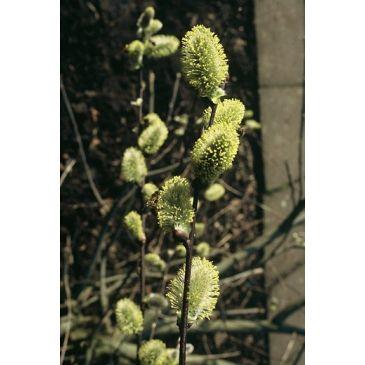Grauwe wilg - Salix cineria