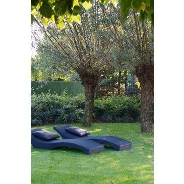 Schietwilg - Salix alba Vitellina