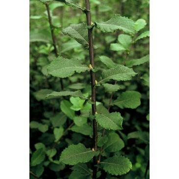 Geoorde wilg - Salix aurita