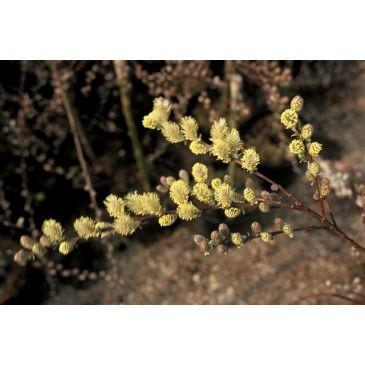 Kruipwilg - Salix repens
