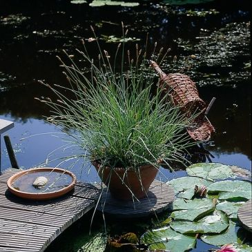 Blauwgras - sesleria caerulea