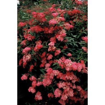 Spierstruik - Spiraea japonica Anthony Waterer