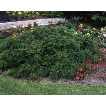 Venijnboom - Taxus baccata Repandens