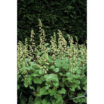 Tellima - Tellima grandiflora Rubra
