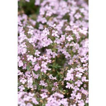 Tijm - Thymus serphyllum Elfin