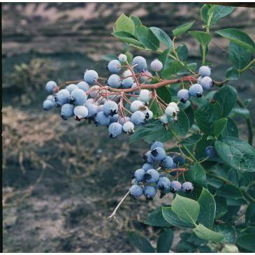 Vaccinium corymbosum Northland - Bosbes