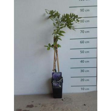 Wisteria sinensis Prolific - Blauwe regen