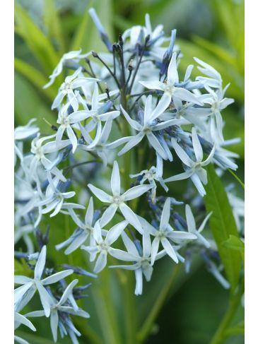 Stermaagdenpalm - Amsonia Bleu ice
