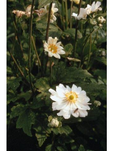 Herfstanemoon - Anemone hybride Whirlwind