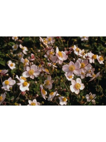 Herfstanemoon - Anemone hupehensis Preacox