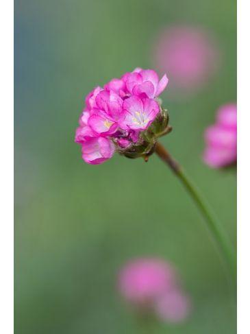 Engels gras - Armeria juniperifolia