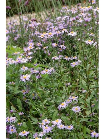 Aster - Aster ageratoides 'Asmo'