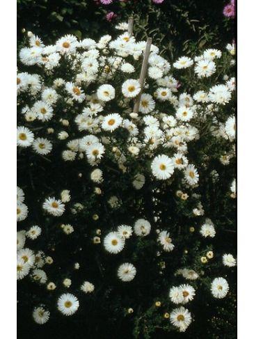 Aster - Aster novae-angliae Herbstschnee