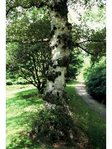 Betula pubescens - zachte berk