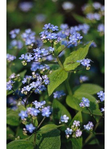 Brunnera macrophylla - Kaukasische vergeet-mij-niet