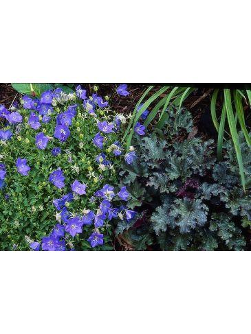 Klokjesbloem - Campanula carp. 'Blaue Clips'