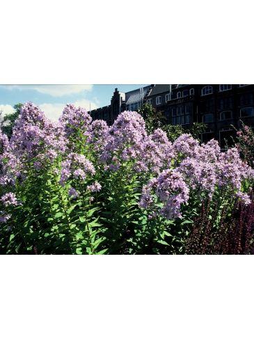 "Campanula lactiflora ""Prichard's Variety"" - Klokjesbloem"