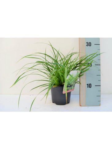"Zegge - Carex morrowii ""Variegata"""