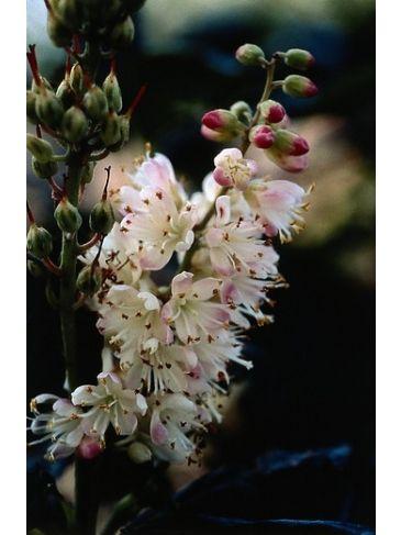 Schijnels - Clethra alnifolia Pink Spire
