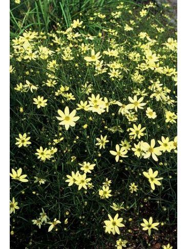 """Coreopsis verticillata """"Moonbeam"""" - meisjesogen"""