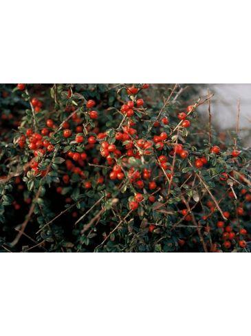Cotoneaster suec. 'Coral beauty' - Dwergmispel