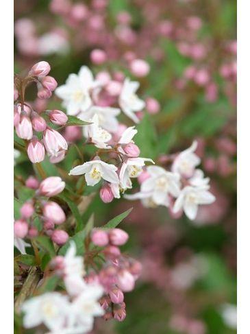 Bruidsbloem - Deutzia purpurascens Kalmiiflora