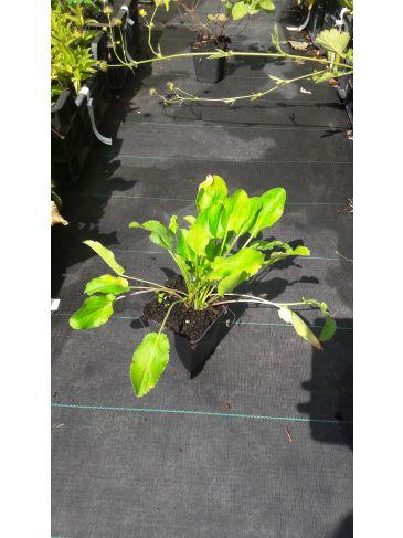 Kogeldistel - Echinops bannaticus 'Albus'