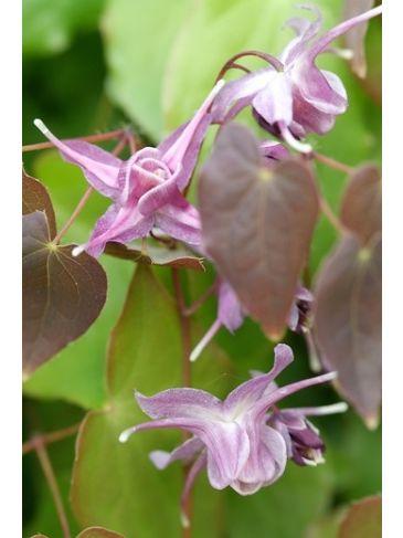 Elfenbloem - Epimedium gr. 'Lilafee'