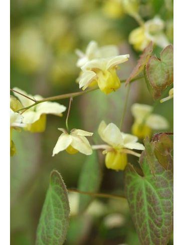Elfenbloem - Epimedium versicolor 'Sulphureum'