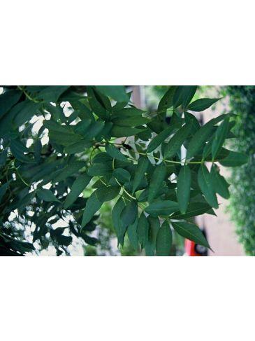 Fraxinus excelsior - gewone es
