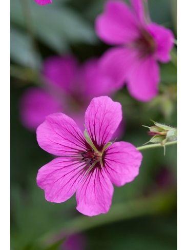 Ooievaarsbek - Geranium sanguineum Ankum's Pride