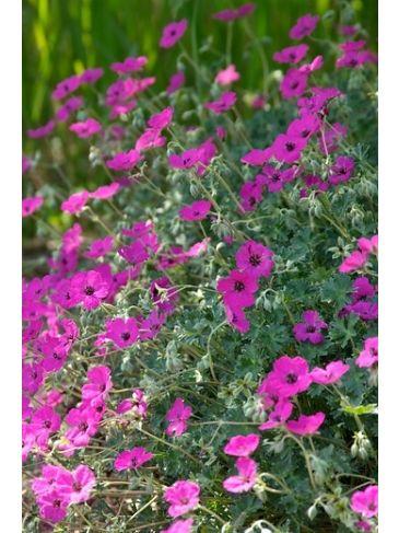 Ooievaarsbek - Geranium cinerium subcaulescens
