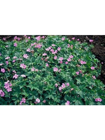 Ooievaarsbek - Geranium endressii