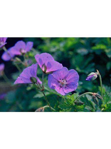 Geranium himalayense - Ooievaarsbek