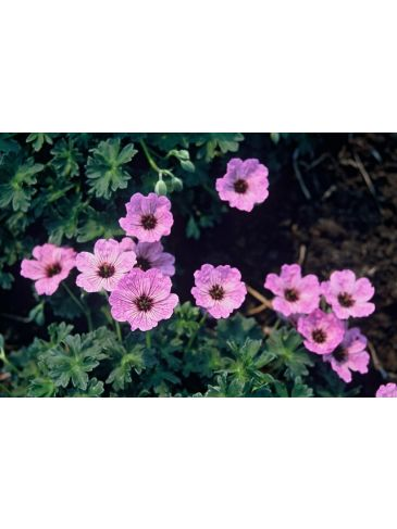 Ooievaarsbek - Geranium cinerium Laurence Flatman