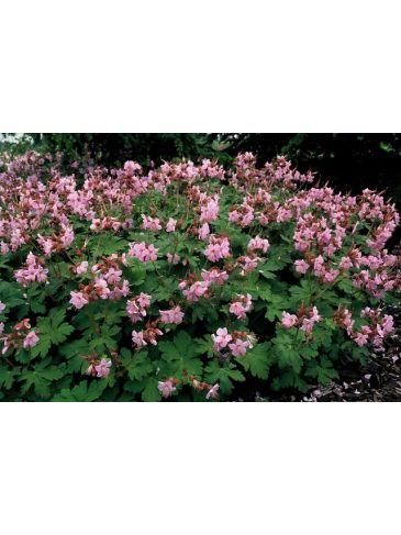 """Geranium macr. """"Ingwersen´s Var"""" - ooievaarsbek"""