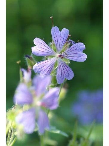Ooievaarsbek - Geranium Philippe Vapelle