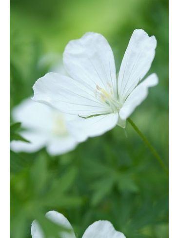 Ooievaarsbek - Geranium Silverwood