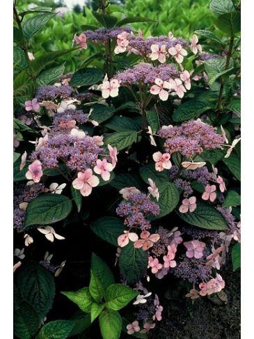 Hortensia - Hydrangea serrata Bluebird