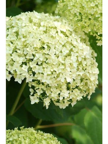Hydrangea arb. Incrediball® - Strong Annabelle®- Hortensia