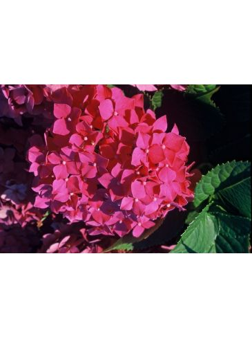 Hydrangea macr. 'Leuchtfeuer' - Bolhortensia