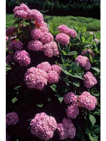 Hydrangea macr. 'Bouquet Rose' - Bolhortensia