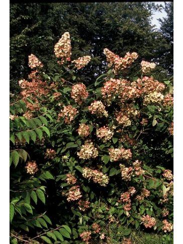 Hydrangea paniculata 'Pink Diamond' - Pluimhortensia