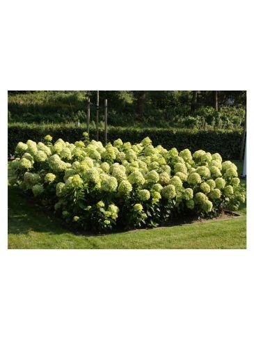 Hydrangea paniculata 'Little Lime' - Pluimhortensia