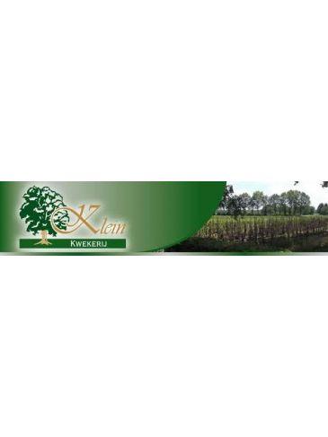 "Bergenia ""Bressingham White"" - Schoenlappersplant"