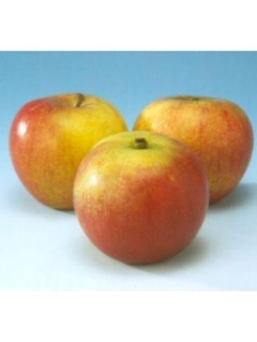 Appelboom - Malus d Cox orange pippin